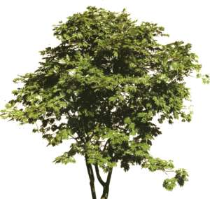 Acer ornamental shrub in summer