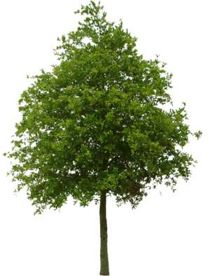 Elevation ob a middle sized, green tree