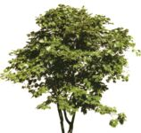 Masked Images: Acer ornamental shrub in summer