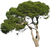 Masked Images: pine-tree in summer, pinus pinea