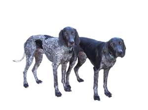 2 dogs, greyster, standing