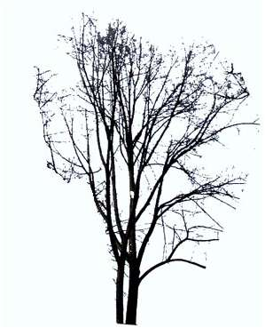 tree without leaves, winter