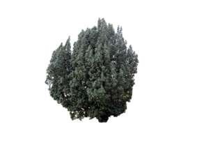 Cone yew