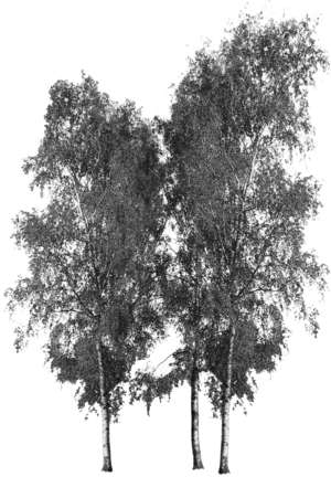 3 trees, birch, Betula